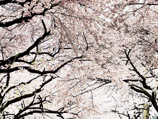 [길 路 떠나다]2015년 제주 왕벚꽃축제